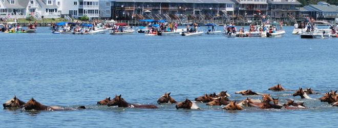 Chincoteague Pony Swim Pictures