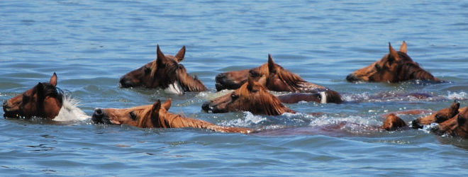 Chincoteague Ponies