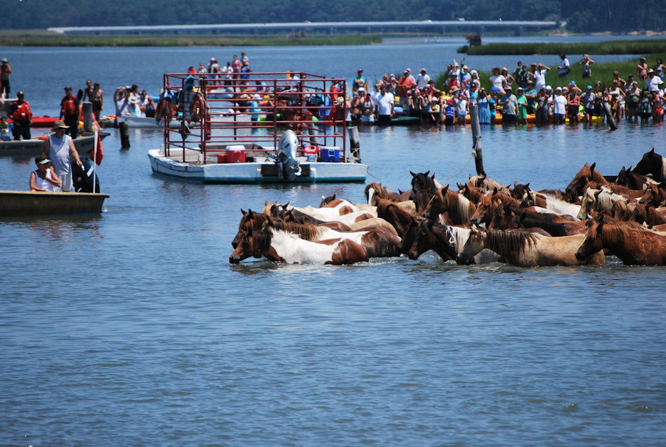Chincoteague Ponies Swim the Assateague Channel