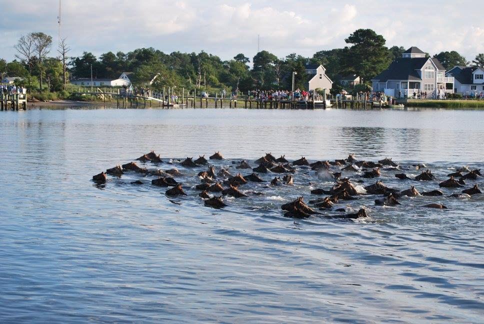 Official Chincoteague Island Pony Swim Guide